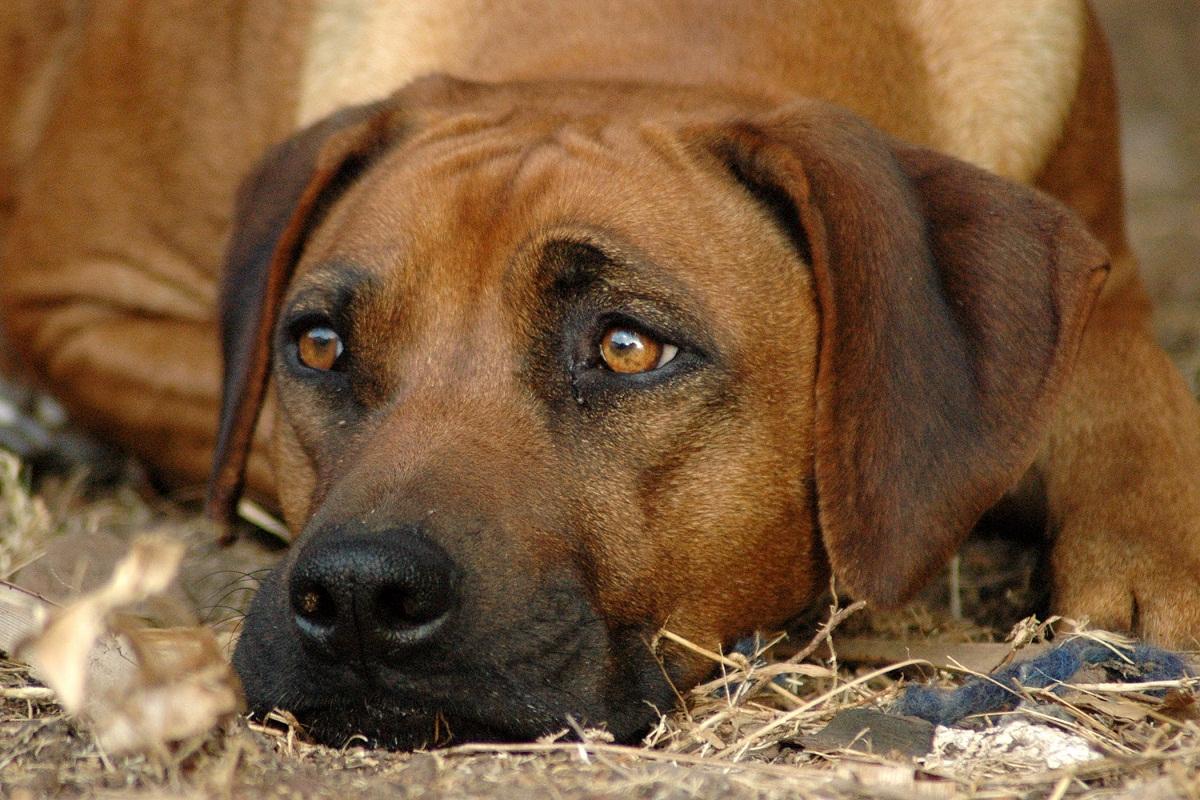 La conjuntivitis es un problema que afecta a los ojos de los perros