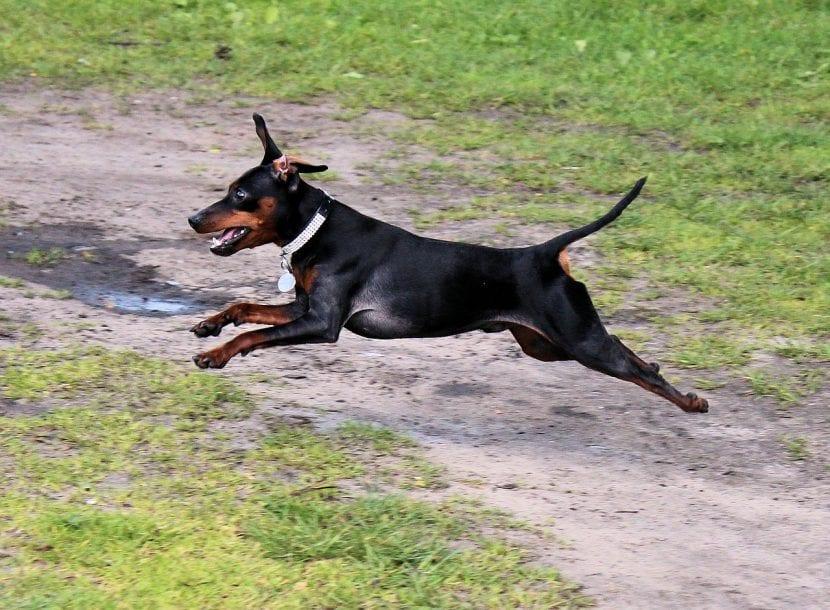 Pinscher corriendo