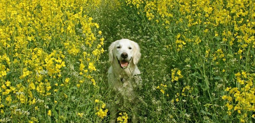 Perro entre flores.