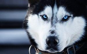 origen huski siberiano