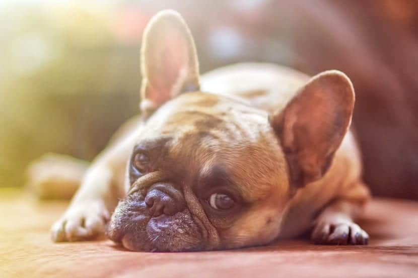 """Conoce cuales son los síntomas y tratamiento de la """"Tos de las perreras"""""""