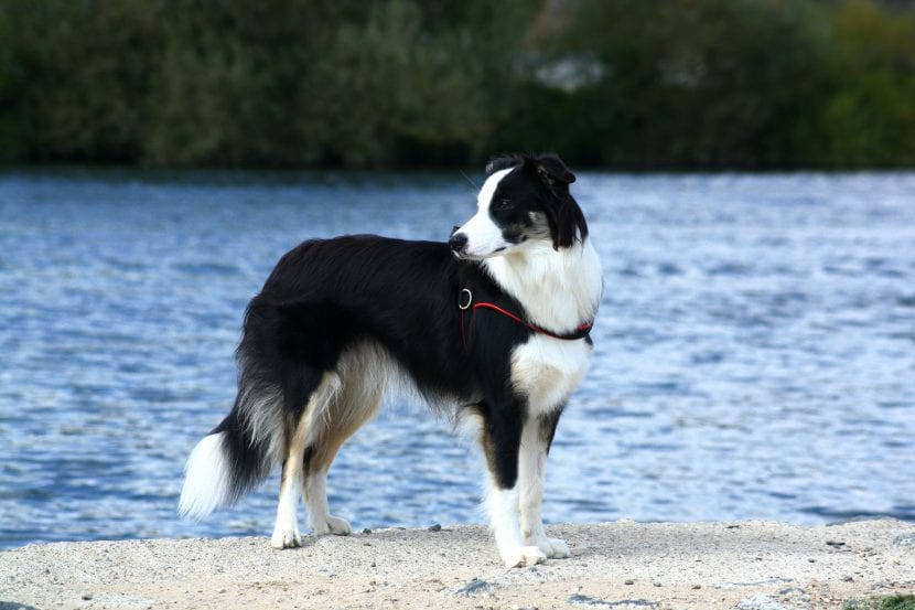 Border Collie en la playa