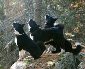 raza de perro Oso de Carelia