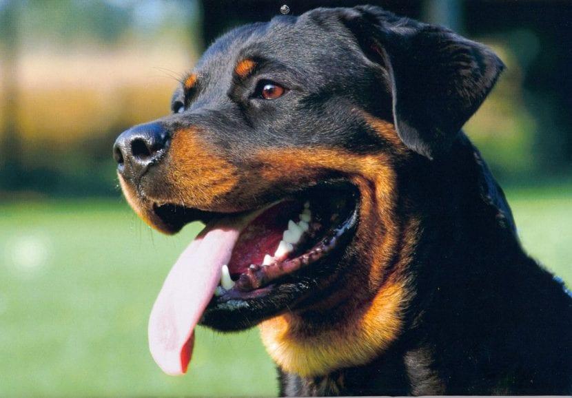Perro adulto de la raza Rottweiler