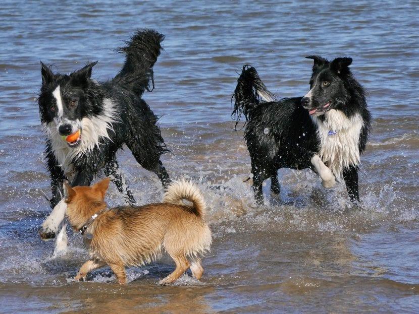 Perros Border Collie jugando en la playa