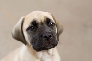 Cachorro de Bullmastiff