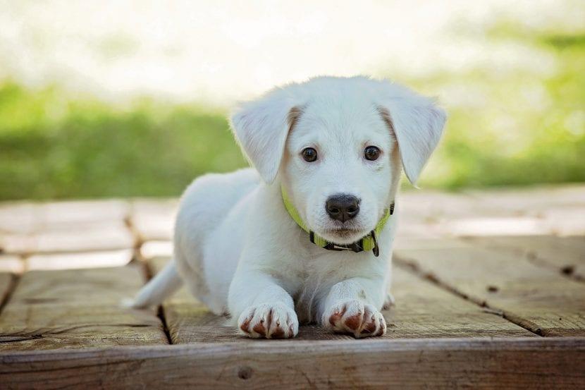 Cachorro blanco tumbado