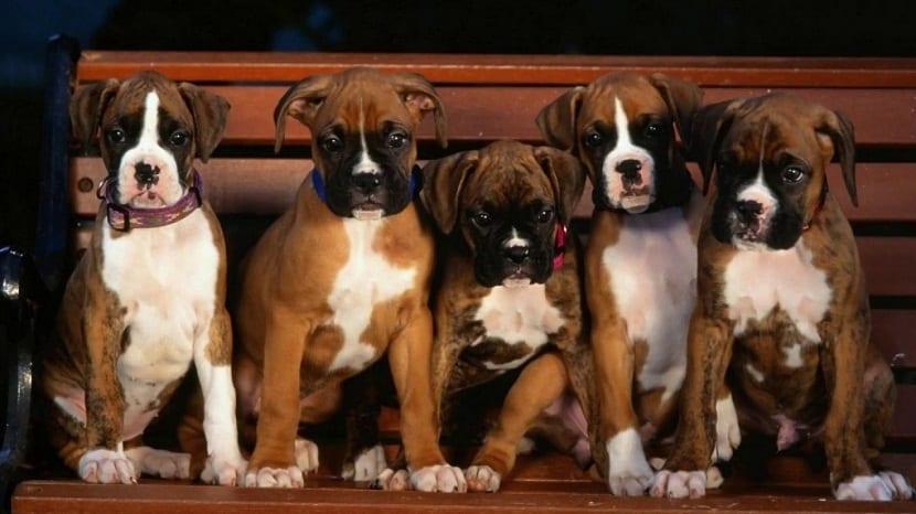 cachorros de boxer