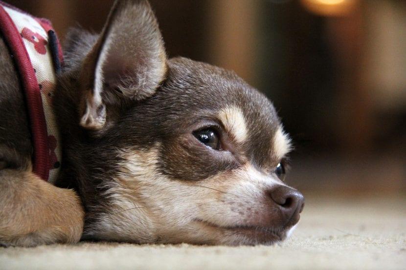 Un joven perro de la raza Chihuahua