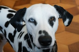 Perro adulto de la raza dalmata
