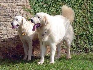 Caracteristicas de la raza de perros Kuvasz