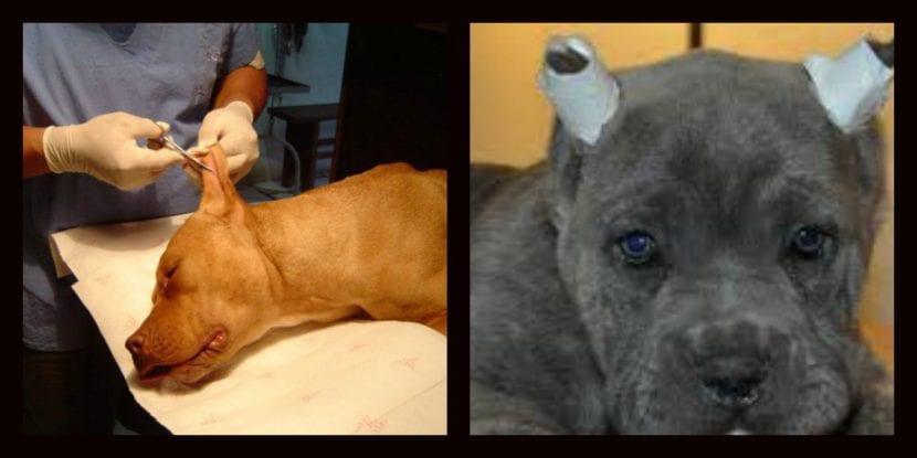 Mutilación en perros