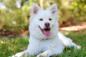 Perro blanco tumbado