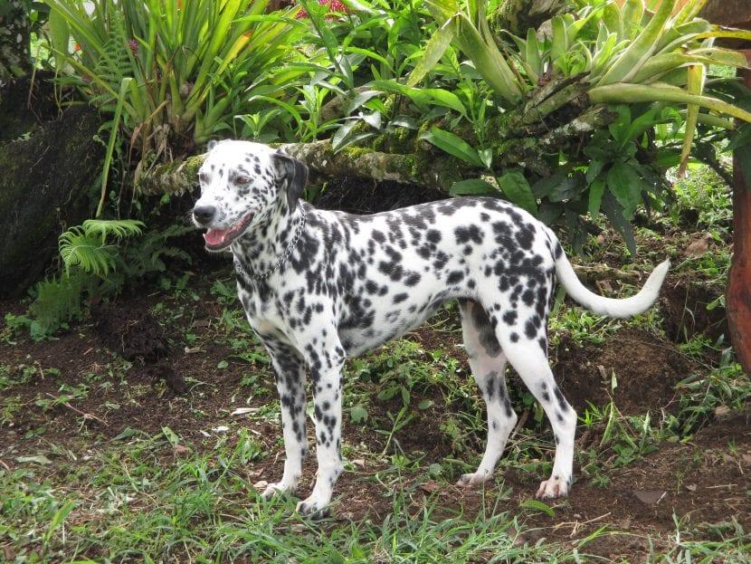 Perro dalmata en el campo