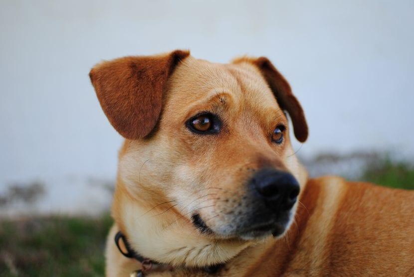 Perro marrón adulto