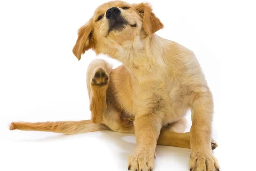 perro arrascandose por las pulgas