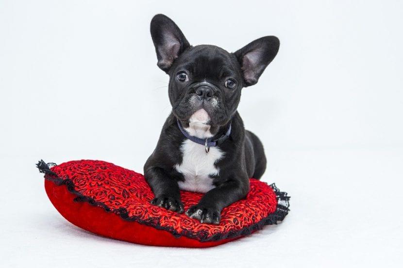 Cachorro de Bulldog en su cama