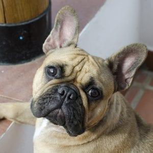 Perro de la raza Bulldog francés marrón