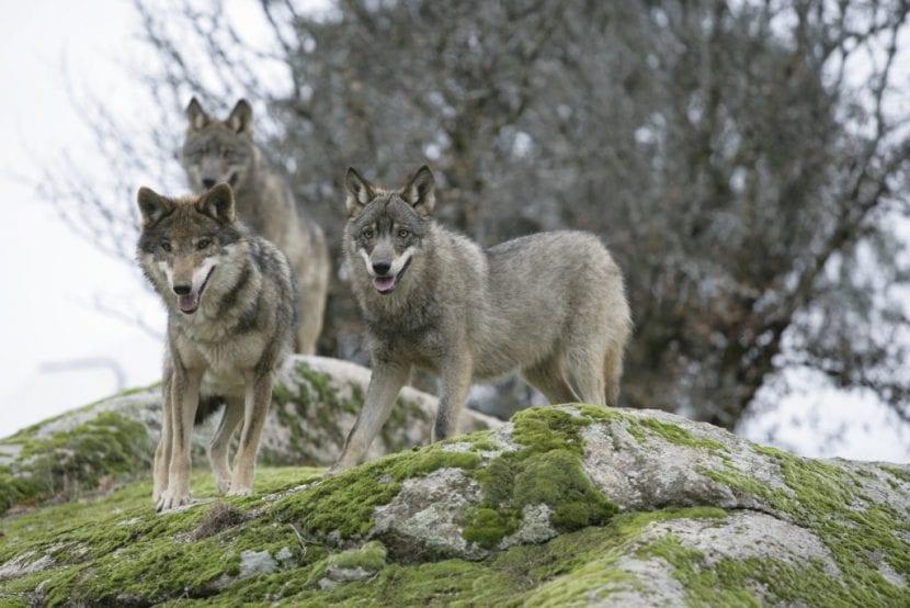 Canis lupus Signatus, el lobo