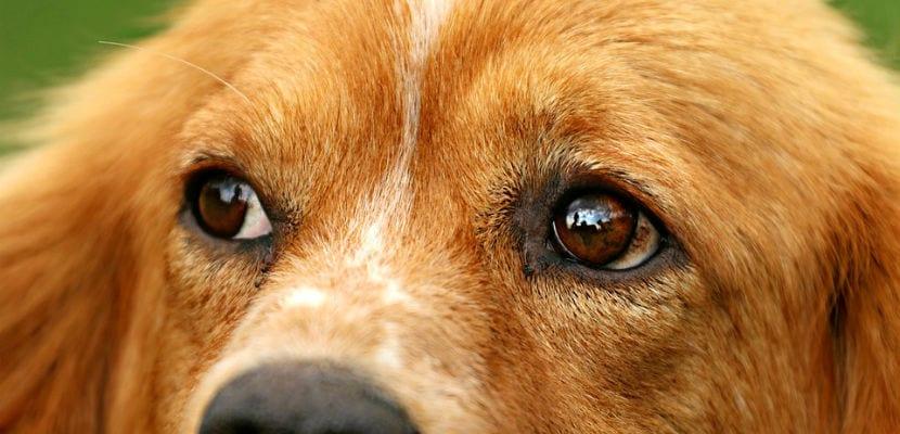 Ojos de un perro.