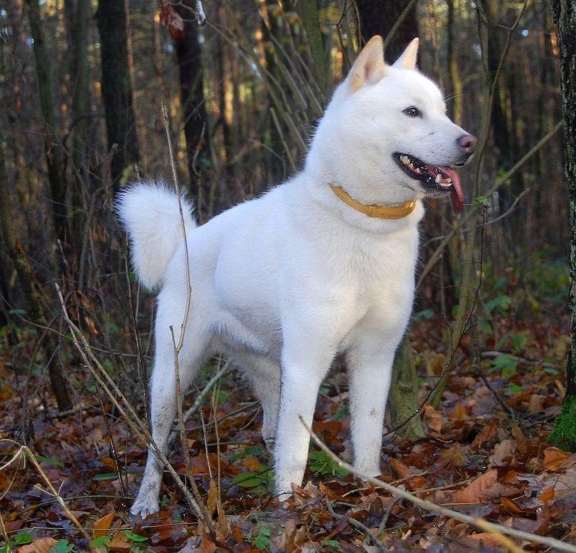 Perro Hokkaido en el bosque