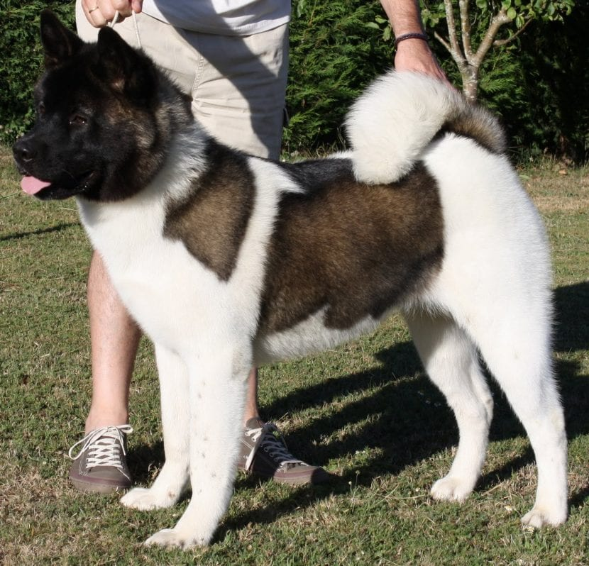 Perro Hokkaido blanco y negro
