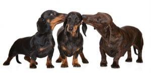 Tres ejemplares de Teckel de pelo corto.