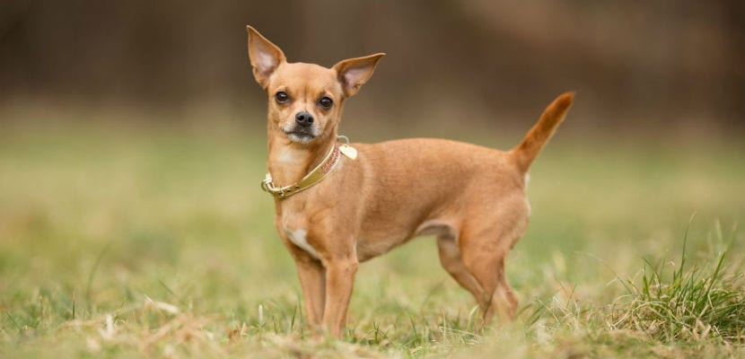 Chihuahua adulto en el campo.