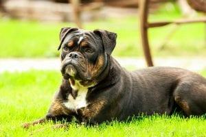 Bulldog en el parque