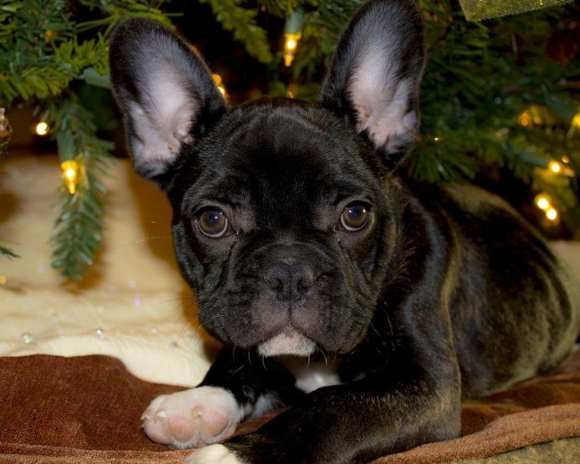 Perro de la raza Bulldog francés negro