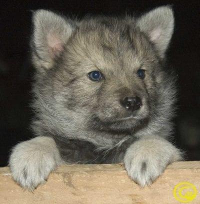 Cachorro de perro lobo herreño