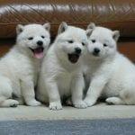 Cachorros blancos de la raza Hokkaido