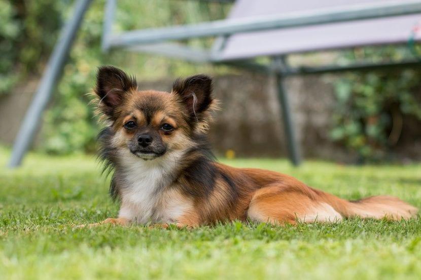 Chihuahua de pelo largo en el jardín