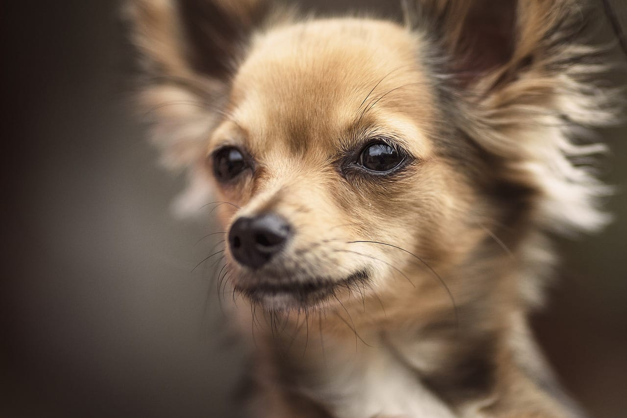 Chihuahua e ka ba le moriri o molelele kapa o mokhuts'oane