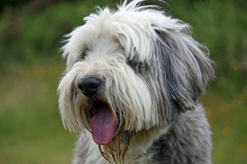 Perro de la raza Collie Barbudo