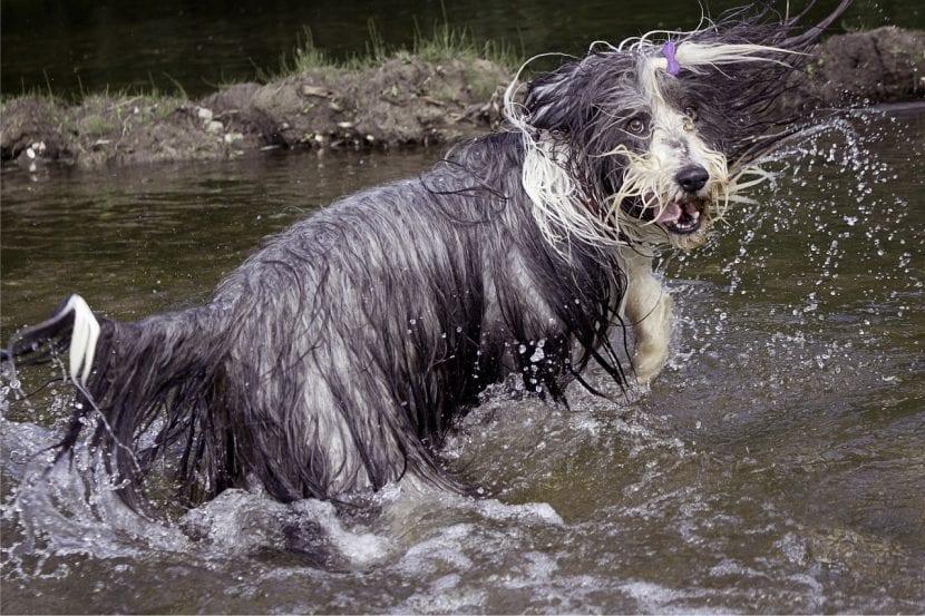 Collie Barbudo en el agua