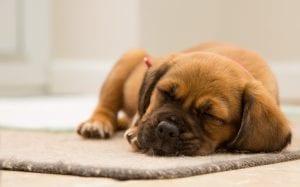 ataques enfermedad en perros