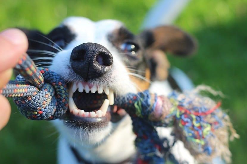 edad del perro a traves de los dientes