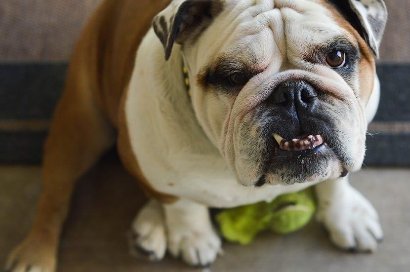 relacion entre los dientes y edad de perros