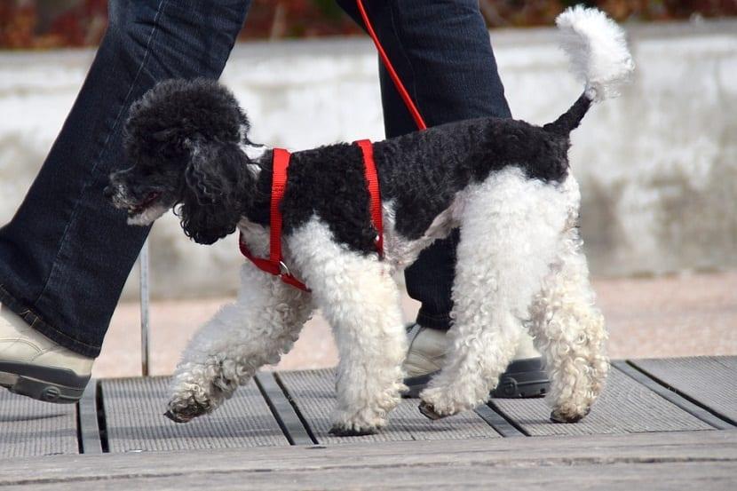 enseñar al perro a andar con la correa