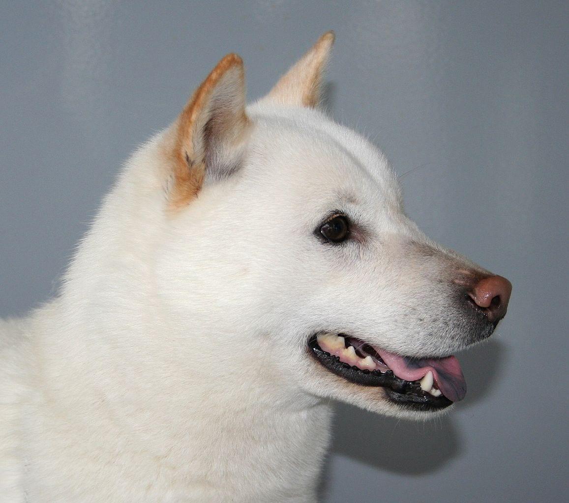 Perro hokkaido de color blanco