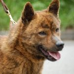 Perro Hokkaido color tigre