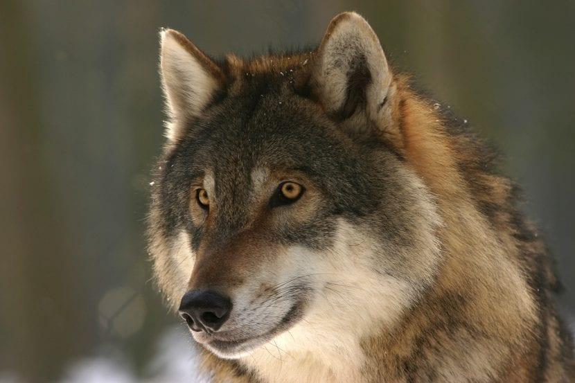 Magnífico lobo