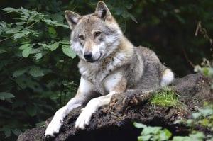 Lobo tumbado en un bosque