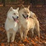Pareja de perros Hokkaido