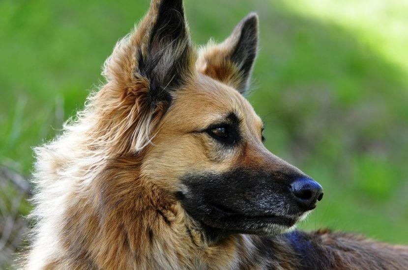 Perro mezcla de pastor adulto