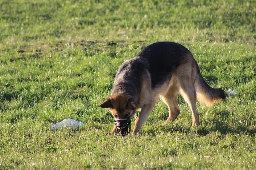 ensena a un perro a olfatear