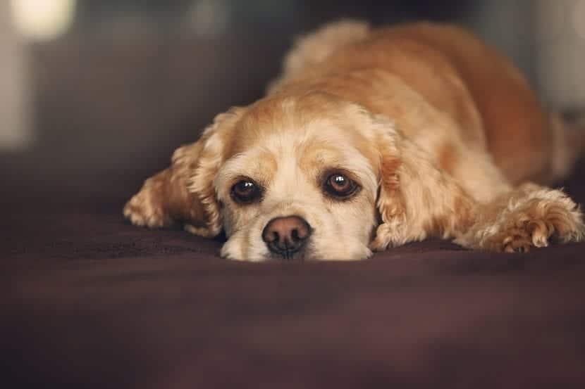 Perro enfermo en su cama