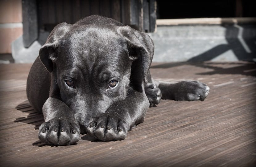 perro enfermo del higado