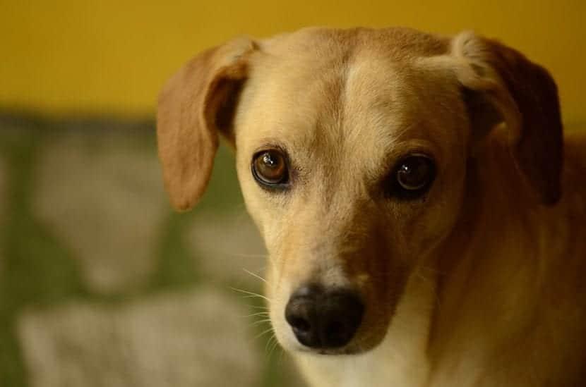 Perro joven de color marrón